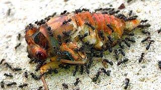 Download Cicadas Most Dangerous Life Death & Rescue (Graphic Nature Video) Video