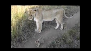 Download Masai Mara Lion Cubs Video
