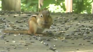 Download Chipmunk caught red handed Video