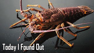 Download Can Lobsters Really Not Die of Old Age? Video