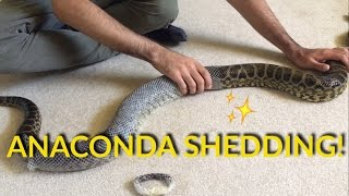 Download ANACONDA SHEDDING! Video
