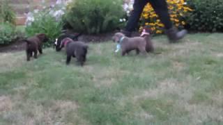 Download Lab Puppies For Sale Benuel Smucker Video
