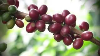 Download Aprenda a recolectar café Video
