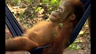 Download Noddy's First Day at School | Orangutan Diary | BBC Earth Video