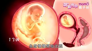 Download 【孕期發展篇2】MOMO親子台│媽媽寶典S1- 第二孕期13 27週胎兒發展動畫 Video