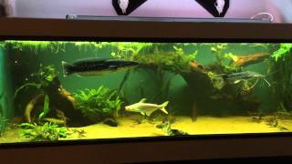 Download 1300 predator monster fish tank Video