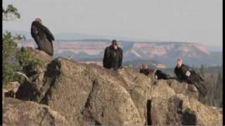 Download Flying giants-rare California condors return to Utah skies Video