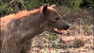 Download SafariLive Jan 11 Hyena fight Video