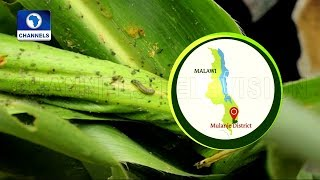 Download Malawian Farmer Uses Detergent And Salt Solution To Repel Army Worm  Eco@Africa  Video