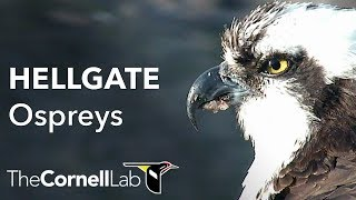 Download Cornell Lab | University of Montana Hellgate Ospreys [Dual-cam] Video