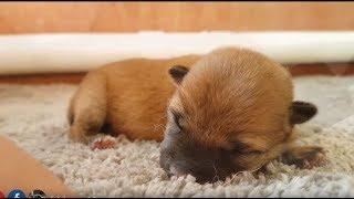 Download Tiny Miracle Boi - MLIP / Ep 100 / Shiba Inu puppies Video