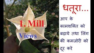 Download धतूरा...... यदि कहीं मिलजाए तो इस को अपने पास रखलें बहुत काम आएगा ये पौधा Video