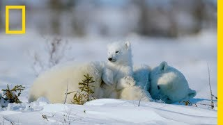 Download The Life of a Baby Polar Bear - Ep. 4 | Wildlife: The Big Freeze Video