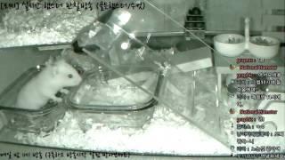 Download [모찌Live/햄스터] 실시간 햄스터 관찰 방송 Hamster Live #16-12-08 Video