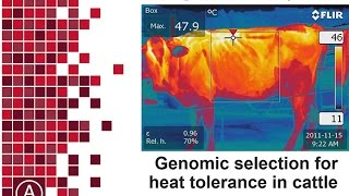 Download Genomic selection for heat tolerance in CATTLE Video