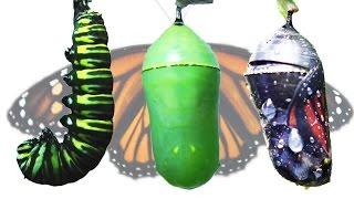 Download Monarch Butterfly Metamorphosis Time-lapse FYV 1080 HD Video