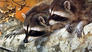 Download The Surprising Intelligence of Raccoons Video