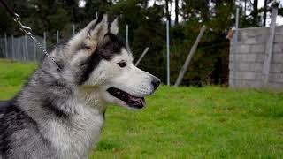 Download Profesional en la crianza de Husky Siberiano Video