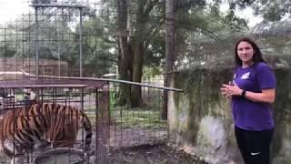 Download Tigers swap homes at Big Cat Rescue Video