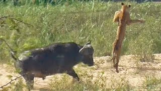 Download Buffalo Launches Lion into Air to Save Lizard Video