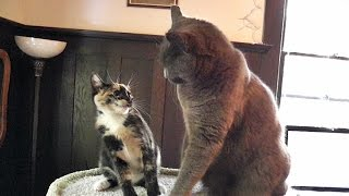 Download Cats vs Kittens - An Epic Cat Tree Battle Video
