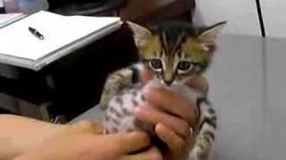 Download 赤ちゃん猫★病院にて絶叫中 Video