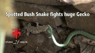 Download Western Natal Green snake fights huge Wahlberg's Velvet Gecko Video