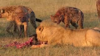 Download Lions vs Hyenas : A Royal Feast Video