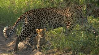 Download Leopard Karula and her new cubs Video