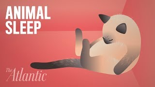 Download How the Animal Kingdom Sleeps Video