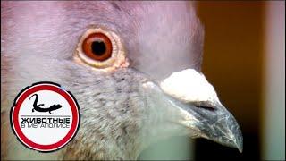 Download Голуби | Джуманджи. Животные в мегаполисе Video