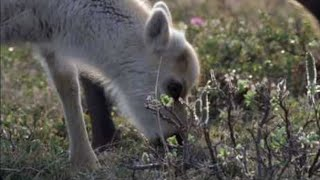 Download Wolves hunting Caribou - Planet Earth - BBC wildlife Video