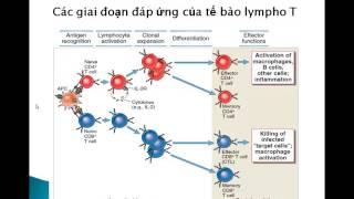 Download Tế bào lymho T và đáp ứng miễn dịch tế bào Page Video