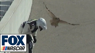 Download An Owl Brings Out the Red Flag During Practice at Fontana | FOX NASCAR Video