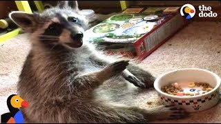 Download Raccoon Acts Like A Human After Rescued by Kind Woman | The Dodo Video