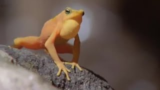Download Attenborough: Golden Frog: Fighting & Mating - Life in Cold Blood - BBC wildlife Video