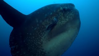 Download Enormous Ocean Sunfish Caught on Camera Cleaning Itself | BBC Earth Video