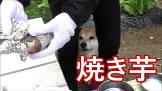 Download 柴犬小春 BBQの炭火で焼き芋【ASMR】 Video