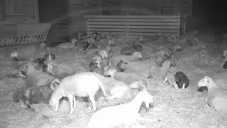 Download Sheep Barn Cam 08-14-2018 02:33:43 - 03:33:44 Video