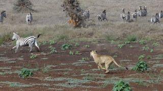 Download Lion Hunt At Lewa! Zebra Ambush Video