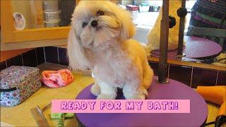 Download Shih Tzu bath time - How to groom your Shih Tzu Video