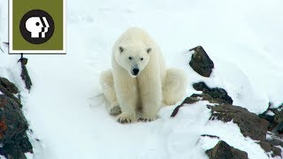 Download Polar Bear Mom Creates Avalanche to Save Family Video