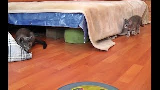 Download Kitten Scares Mama Cat (And Pays For It) Video