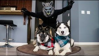 Download Scary Werewolf Prank On My Huskies! Video