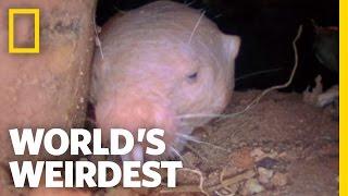 Download Naked Mole Rats | World's Weirdest Video