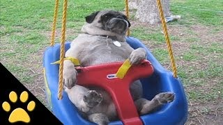 Download Pugs Are Awesome: Compilation Video