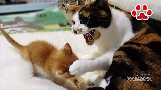 Download 三毛猫が子猫にマジギレした瞬間【瀬戸の三毛猫日記】 Mike was angry to kitten Maya Video