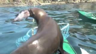 Download Sea Lion Attacks Kayaker Video
