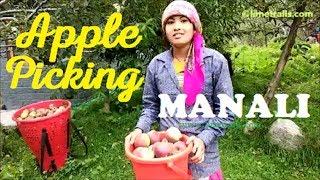 Download Apple Picking in Manali, Himachal Pradesh   Limetrails Video