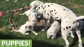 Download Dalmatian dad jumps into puppy pen to bond with his kids Video